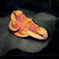 Orange (Tiny ones)