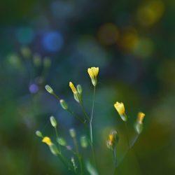 SweetYellow (Flower power)