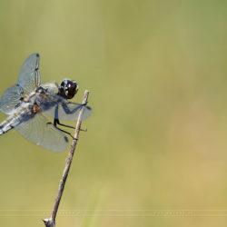 Winged110 (Tiny ones)