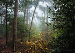 Fogy forrest